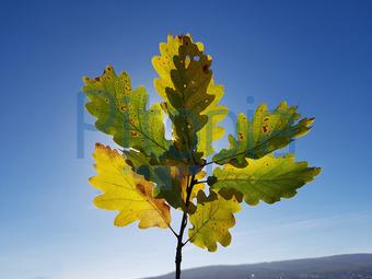 Bildagentur Pitopia Bilddetails Eichenzweig Herbst